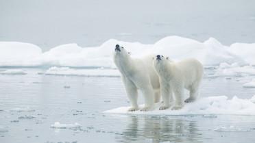 Eisbär in Svalbard