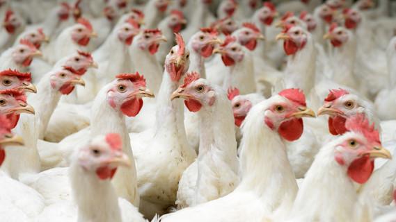 Hühner in einem Stall