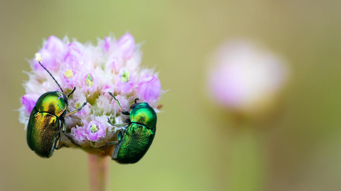 Zwei Käfer auf einer Blüte