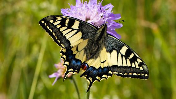 Der Bestand des unter Schutz stehenden Schwalbenschwanzes (Papilio machaon L.) zeigt in den letzten Jahren einen anhaltenden, deutlichen Rückgang.