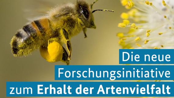 Arbeiterbiene sammelt Pollen
