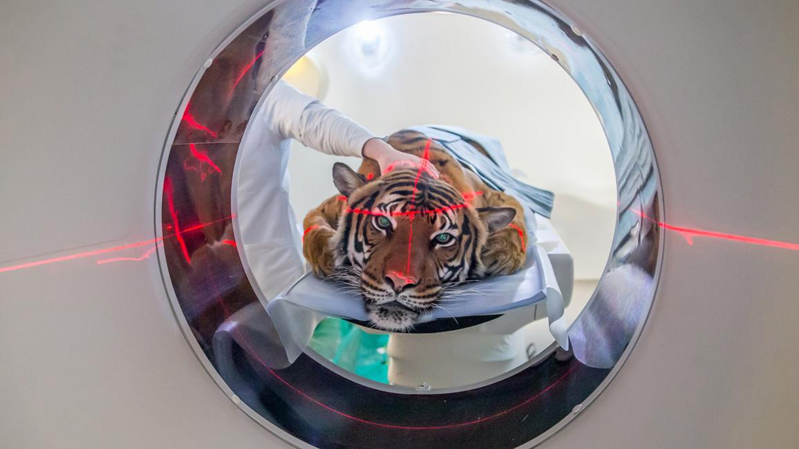 Die Tigerin Sarai war die erste Patientin im weltweit modernsten CT für Veterinärmedizin.