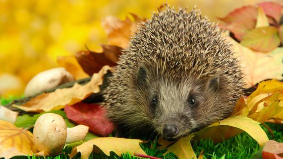 Igel auf Herbstlaub im Wald