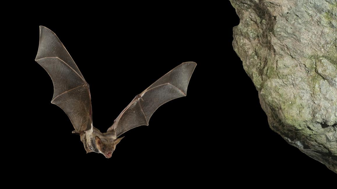 Eine Fledermaus im Nachtflug