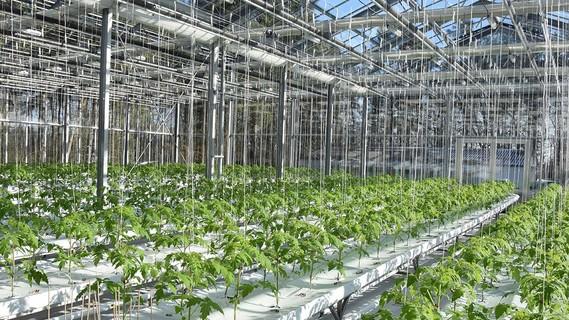 Ein Gewächshaus mit Tomatenpflanzen.