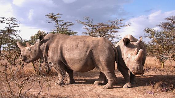 Najin und Fatu, die letzten beiden verliebenen Tiere der Unterart (2017, Kenja)