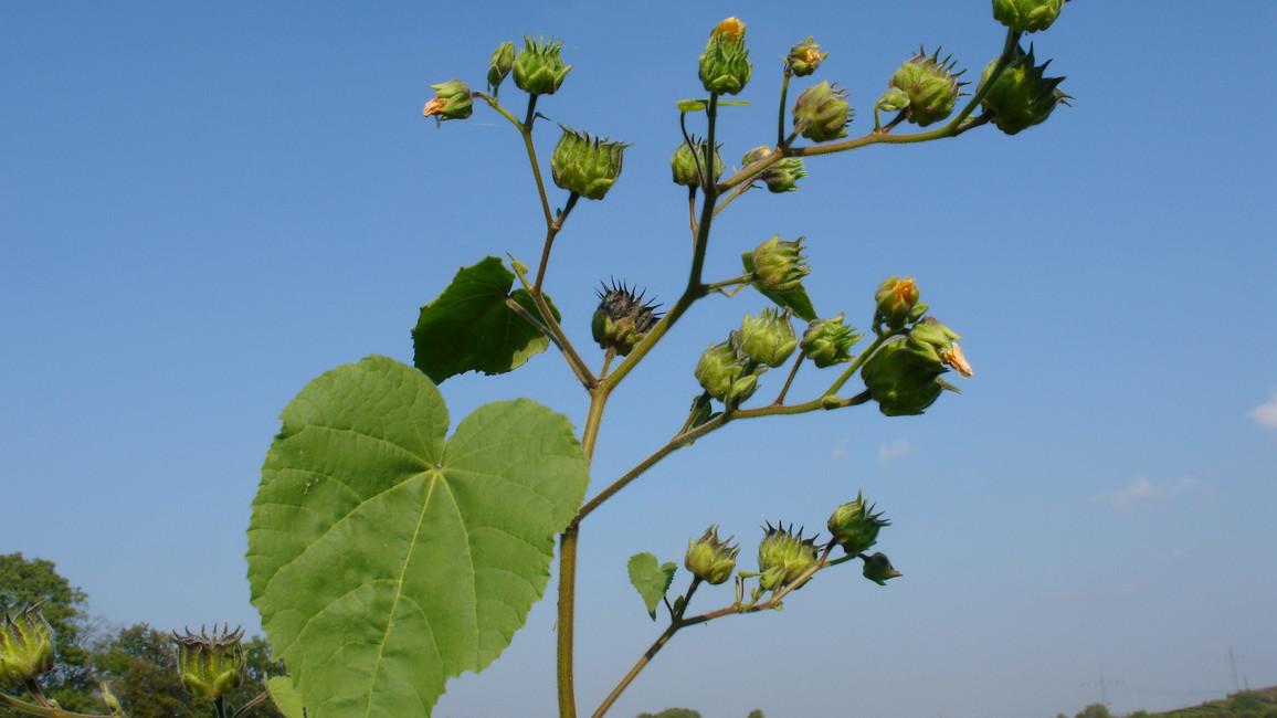 Fruchtstand einer Abutilonpflanze (Schönmalve)