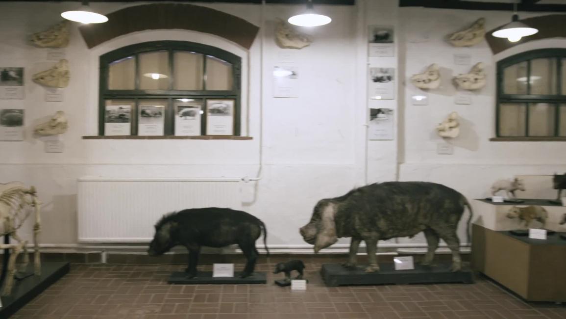 Poster zum Video Warum das Hausschwein eine andere Stirn bekam