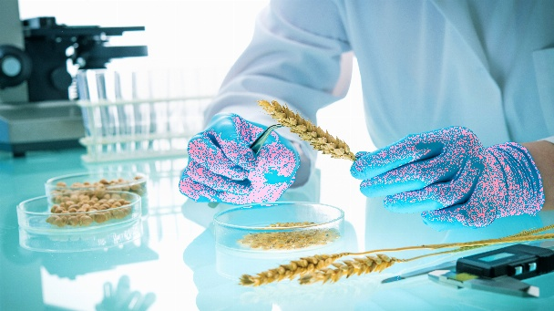 Researcher analyzing agricultural grains and legumes in the laboratory