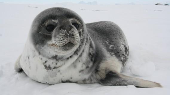 Ein verlassenes Weddellrobbenjunges, im Alter von 6 Wochen werden sie von der Mutter in die Selbstä¤ndigkeit entlassen.