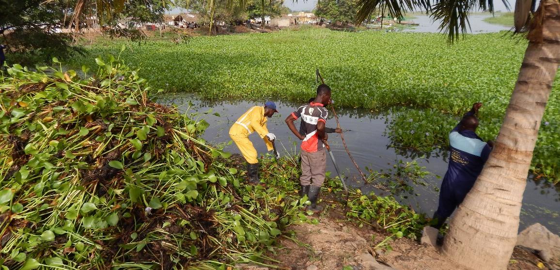 Der Befall und die Verbreitung von Wasserhyazinthen hat negative Auswirkungen auf Gesellschaft, Gesundheit, Wirtschaft und Umwelt in einigen Gemeinden am Volta Fluss.
