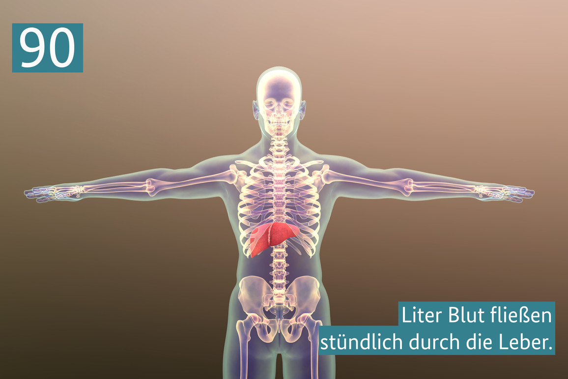 90 Liter Blut fließen stündlich durch die Leber - BMBF