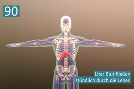 90 Liter Blut fließen stündlich durch die Leber.