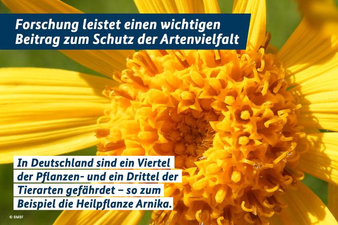 Forschung leistet einen wichtigen Beitrag zum Schutz der Artenvielfalt. In Deutschland sind ein viertel der Pflanzen- und ein Drittel der Tierarten gefährdet - so zum Beispiel die Heilpflanze Arnika.