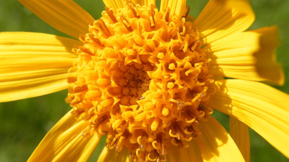 Heilpflanze Arnika