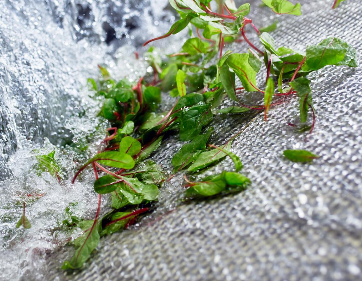 Babyleaf-Salat unter dem Wasserfall in der GEWA-AF-Waschmaschine
