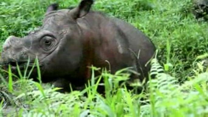Teaserbild zum Beitrag 'Sabah-Rhino-Project: Innovative Forschung für den Artenschutz'