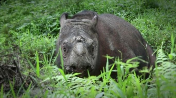 Teaserbild zum Beitrag 'Sabah-Rhino-Project: Global Responsibility'