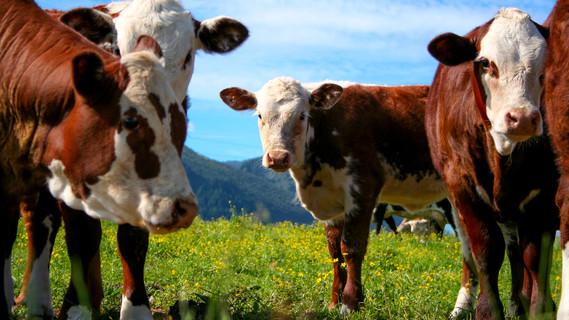 Eine Herde Kühe auf einer Weide.