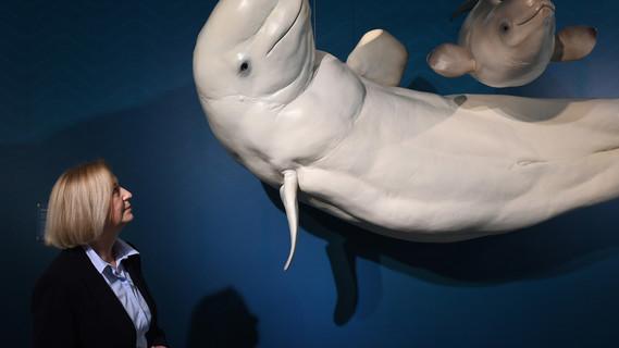 Bundesforschungsministerin Johanna Wanka betrachtetim Meeresmuseum von Stralsundin der Sonderausstellung mit dem Titel «Nutzung der Meere - von der Tiefsee bis in die Polarregionen» die Nachbildung eines Beluga Wal mit Kalb aus dem Arktischen Ozean.