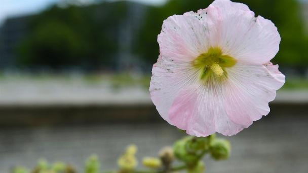 rosa Blüte einer Stockrose