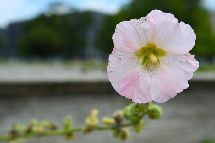 Blüte einerStockrose